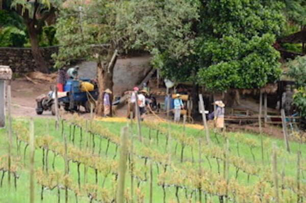 Workers at Aythaya Vineyard - Monte di Vino Lodge